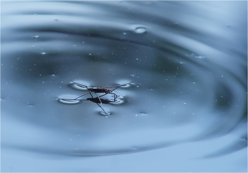 waterstrider
